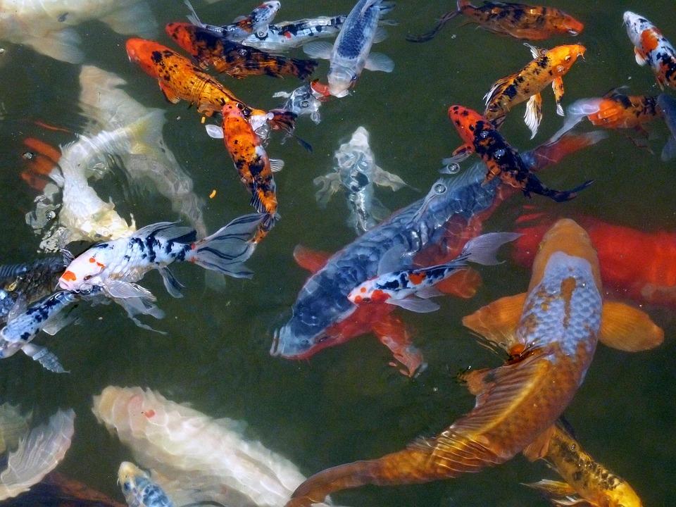 Koi fish pond wallpaper