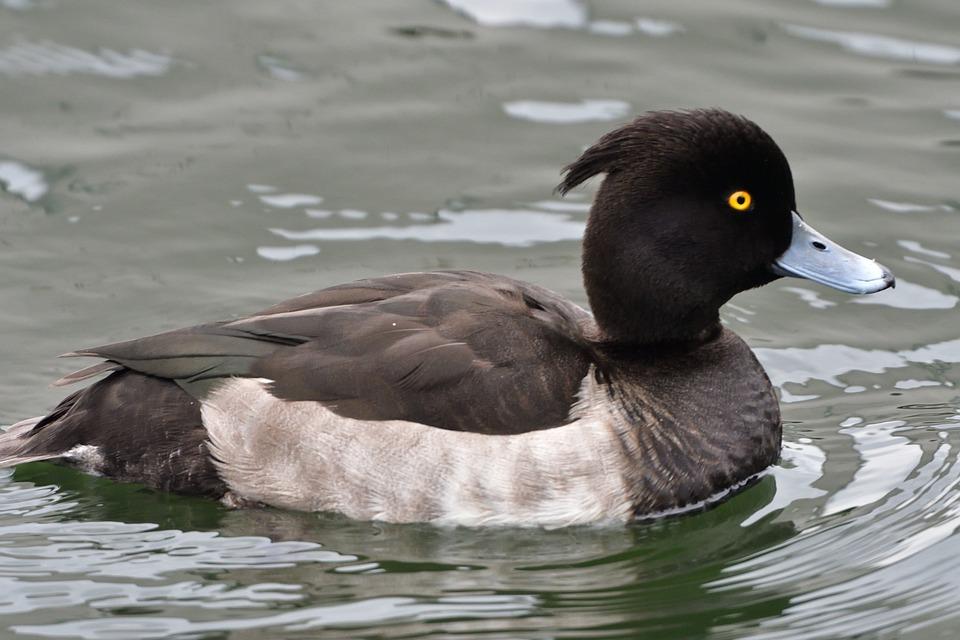 Bird, Duck, Wild Animals, Pond, A