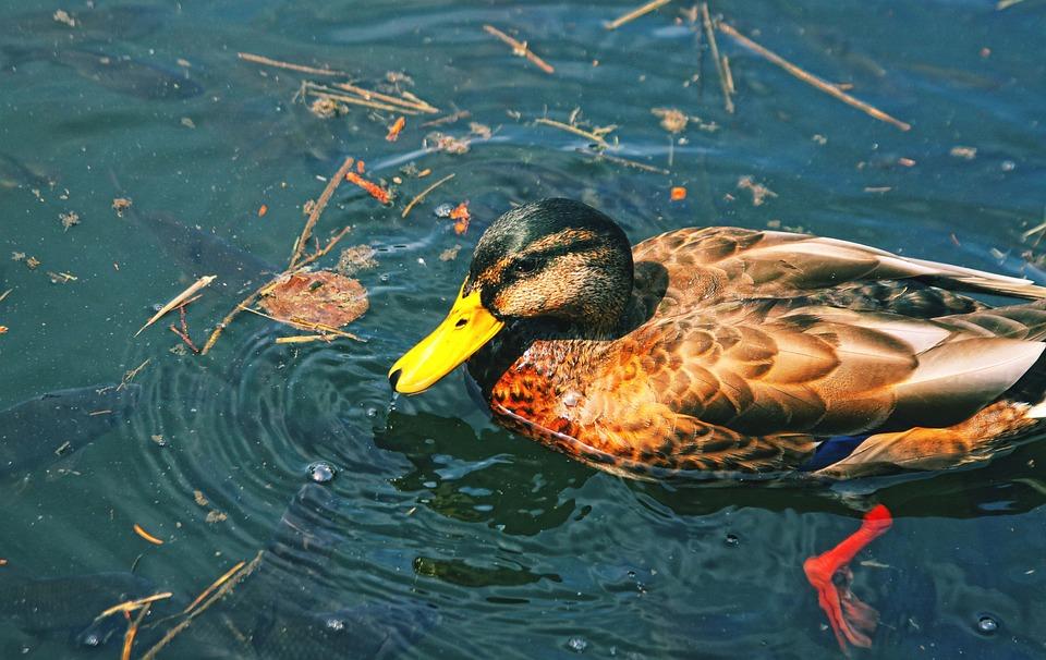 Duck, Park, Crossword, Bird, Pond, Nature, Wild Birds
