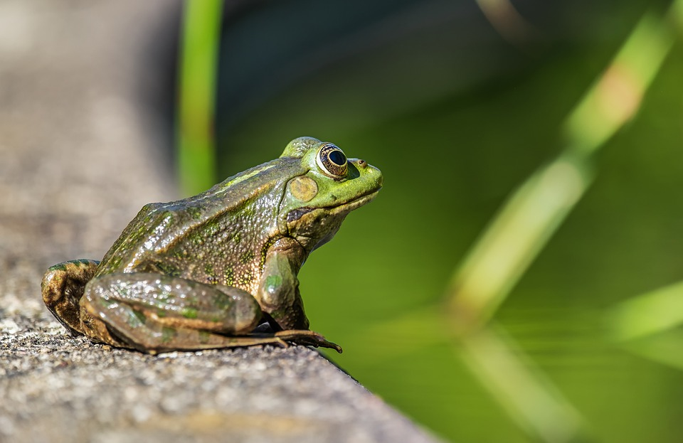Frog, Water Frog, Amphibian, Sitting, Pond Edge, Animal