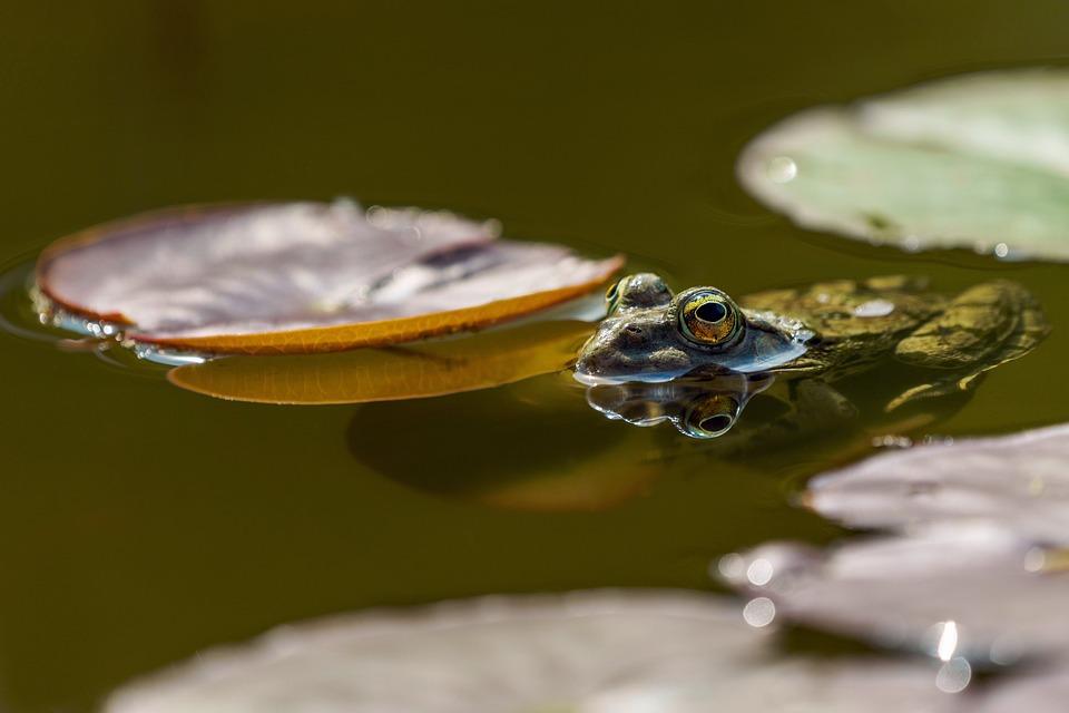 Frog, Eyes, Pond, Amphibians, Nature, Green, Water