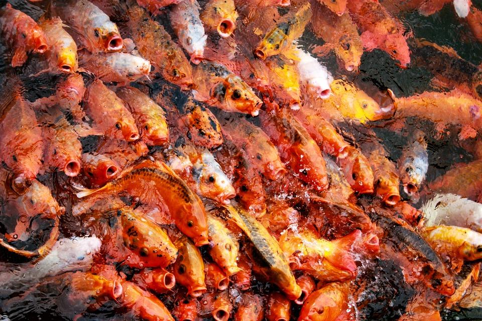 Koi, Goldfish, Pond, Water, Fish, Carp