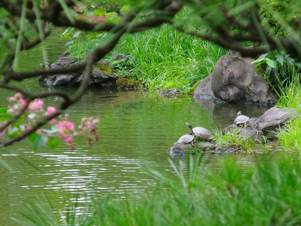 Japan, Turtle, Pond, Green