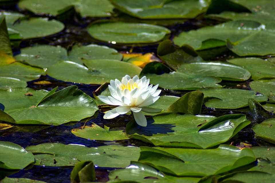 Henry Vilas Park Water Lily, Lily, Pond, Madison