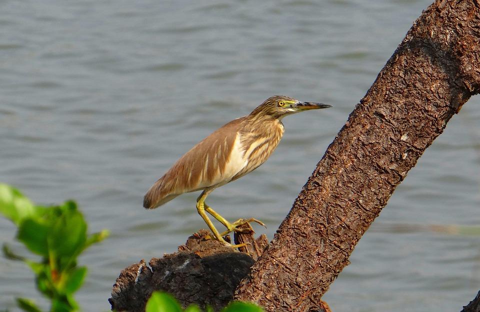 Pond Heron, Bird, Avian, Heron, Water, Fauna