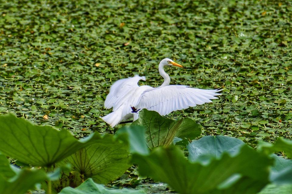 Animal, Pond, Plant, Lotus, Heron, Team Rabbit