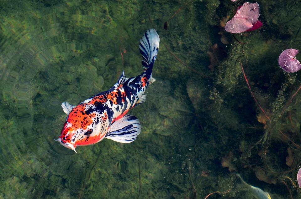 Twilight In Koi Pond >> Free Photo Pond Japanese Koi Zen Carp Max Pixel