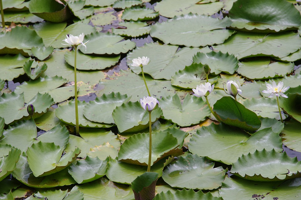 Lily, Pads, Water, Lilies, Pond, Nature, Lake, Outside