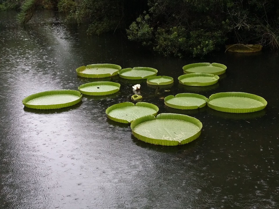 Lily, Pads, Giant, Aquatic, Rain, Pond