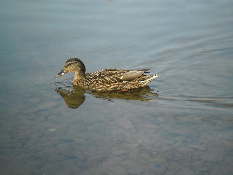Duck, Pond, Wild, Water, Bird, Water Bird, Mallard Duck