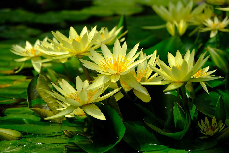 Water Lily, Yellow, Nature, Pond, Bloom, Blossom, Bloom