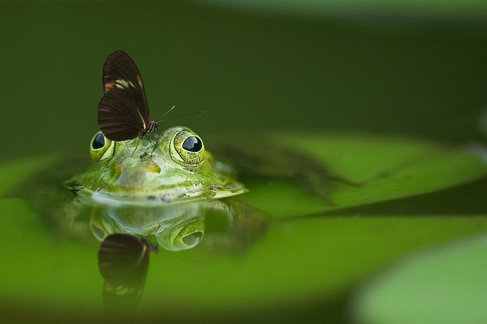 Frog, Butterfly, Pond, Mirroring, Nature, Water