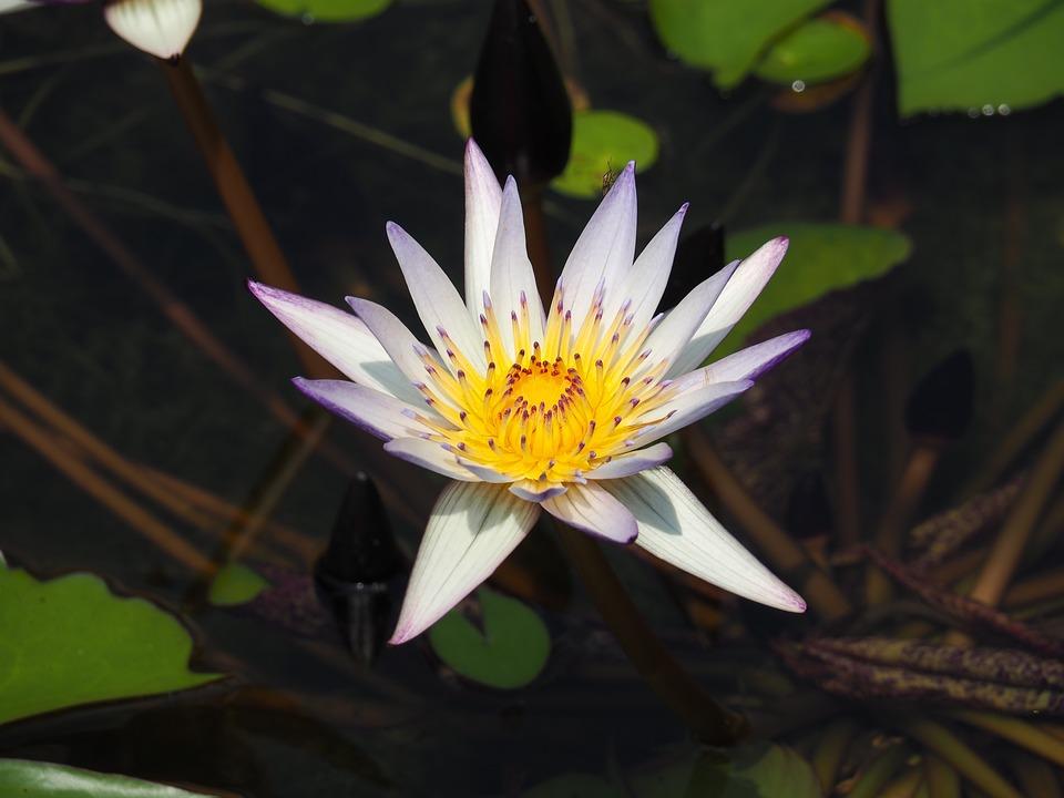 Pond, Purple, Nymphaea Alba
