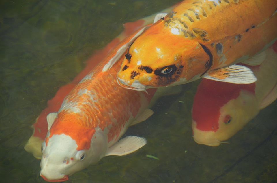 Fish, Koi Carp, Goldfish, Pond, Water, Orange