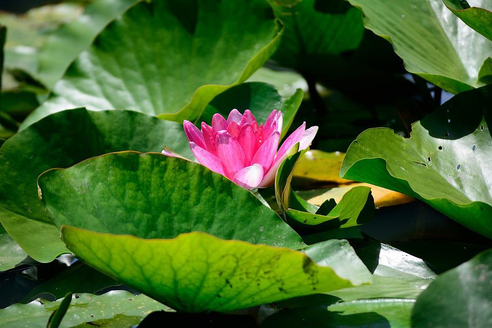 Lily, Pond, Garden, Lake, Plant, Nature, Flower, Bloom