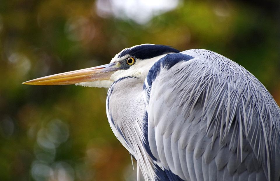 Grey Heron, Water Bird, Pond, Heron, Plumage, Bill