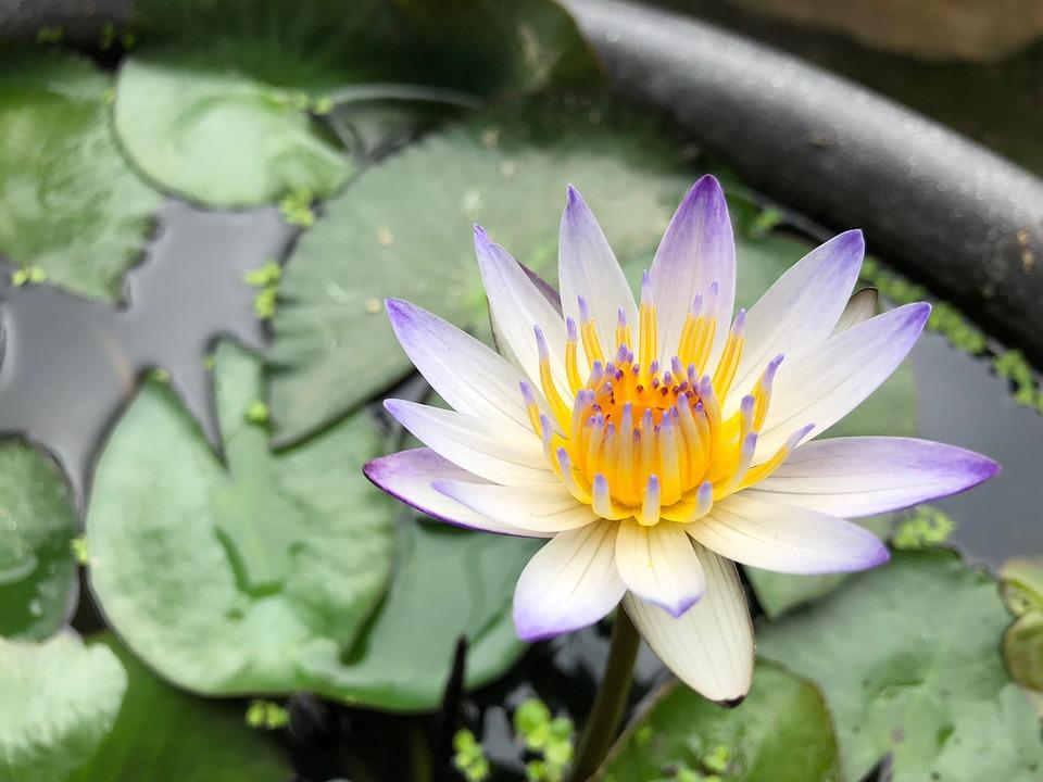 Pond, Purple Lotus, Plant