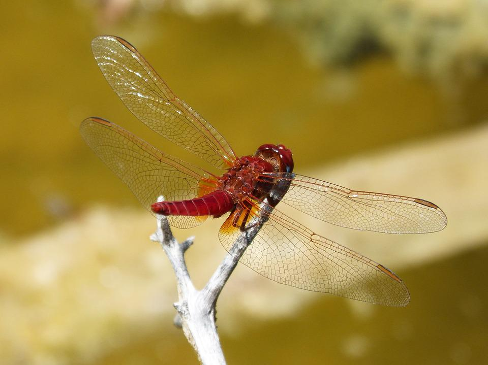 Dragonfly, Red Dragonfly, Erythraea Crocothemis, Pond