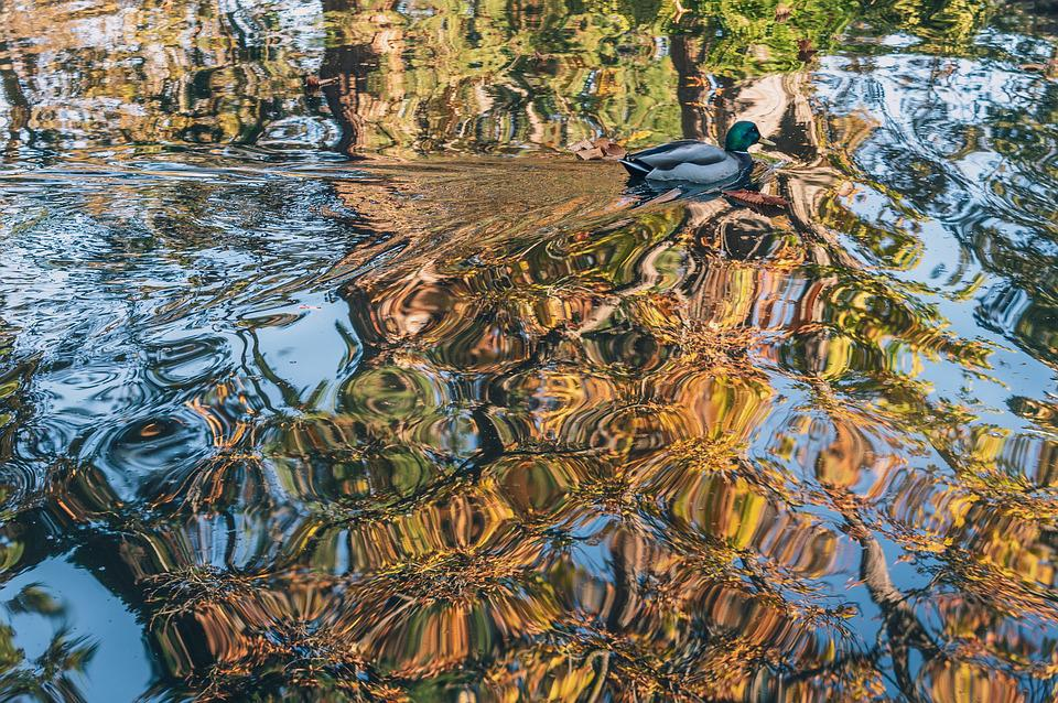 Duck, Ripples, Fall, Reflection, Trees, Park, Pond
