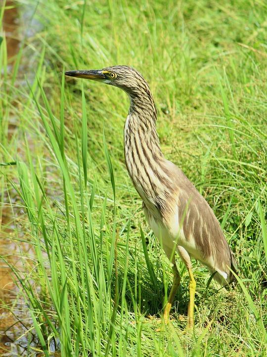 Pond, Heron, Kerala, Avian, Bird, Water, Beak, Standing
