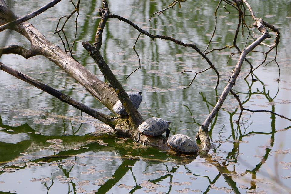 Nature, Pond, Water, Tree, Turtles, Sun, Tierleben