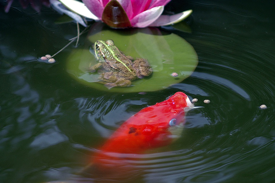 Pond, Frog, Pond Frogs, Amphibian, Green, Water