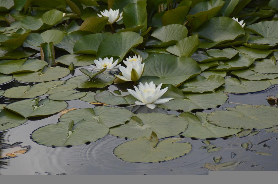 Pond, Water Lilies, Water, Aquatic Plant