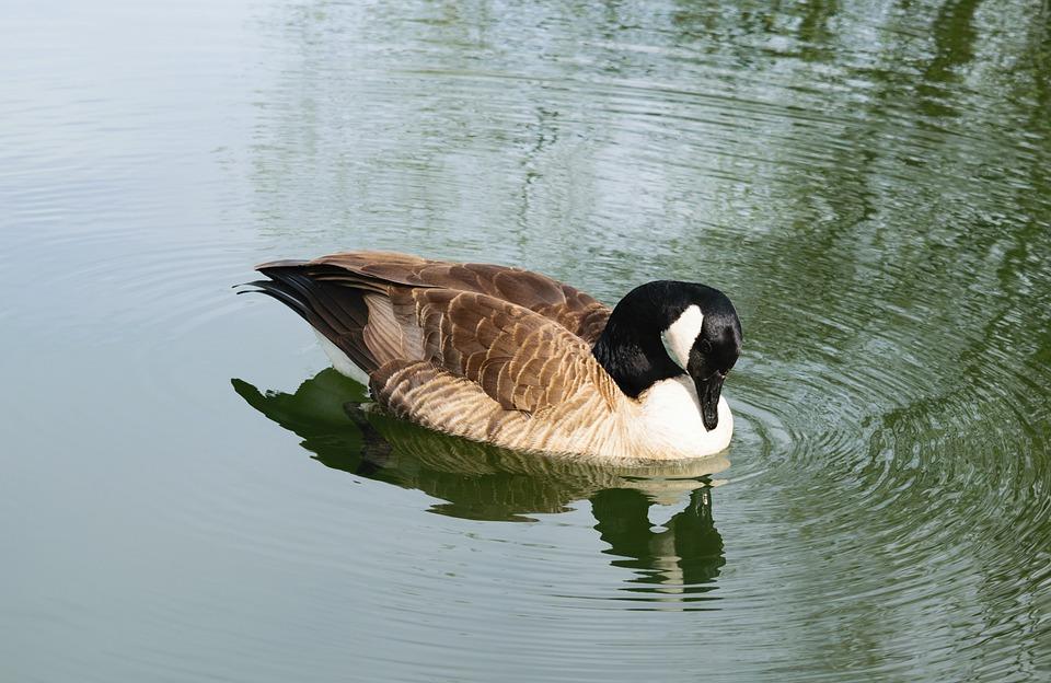 Bird, Pond, Water, Lake, Nature, Goose, Geese, Wild