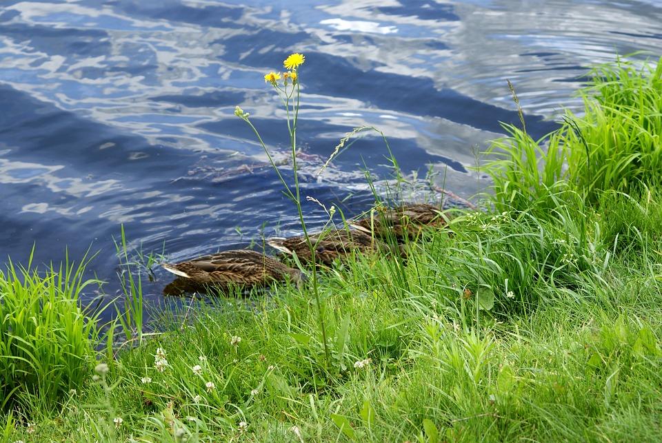 Ducks, Drinking, Water, Pond, Cove, Flower, Grass