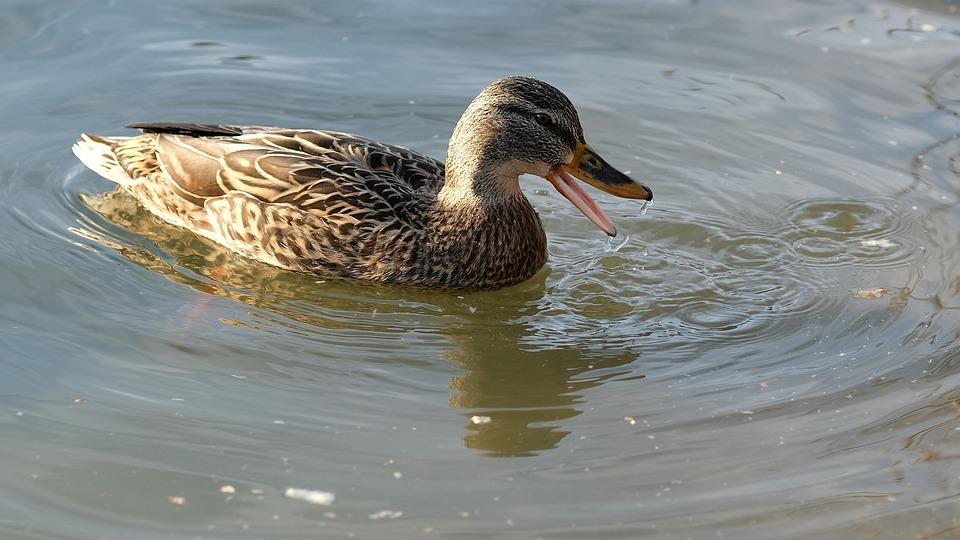 Duck, Pond, Water, Water Bird