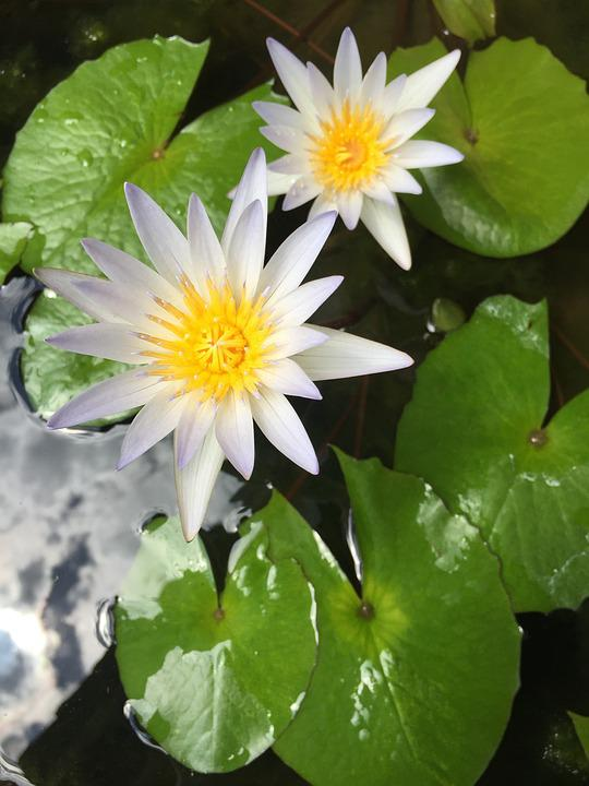 Lily, Pond, Flower, Water-lily, Nymphaea, Wetland