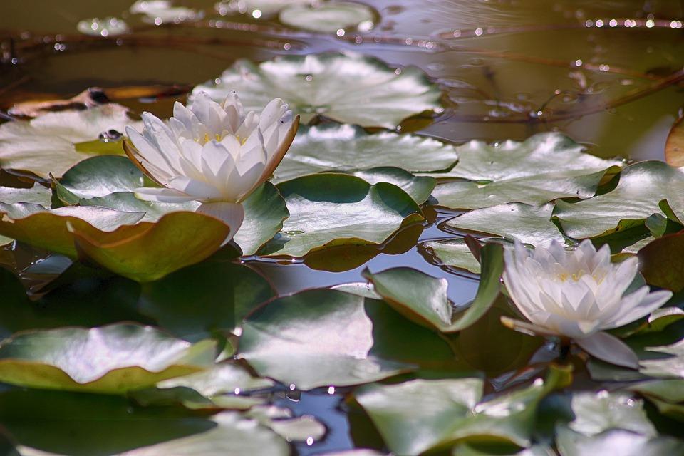 Waterlilies, Spiritual, Pond