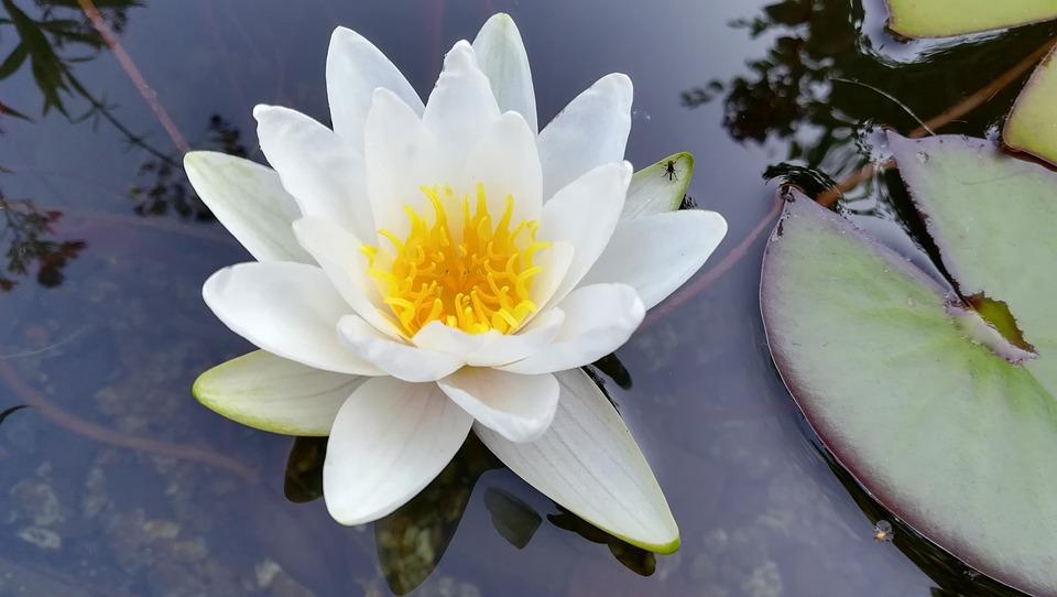 Pond, Water Lily, White, Bloom, Lake Rosengewächs