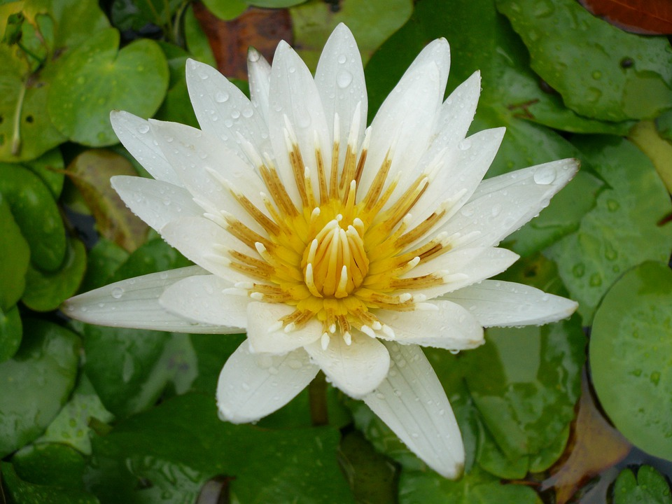 Flower, White Water Lily, Martinique, Caribbean, Pond