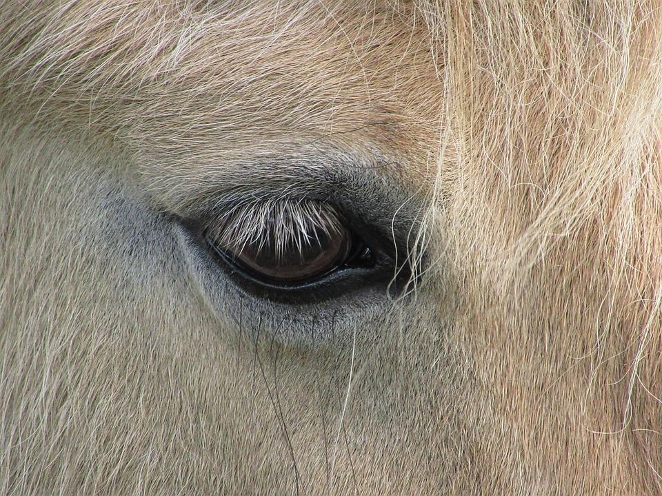 Pony, Horse, Eye, Eyelashes, Blonde, Shetland Pony