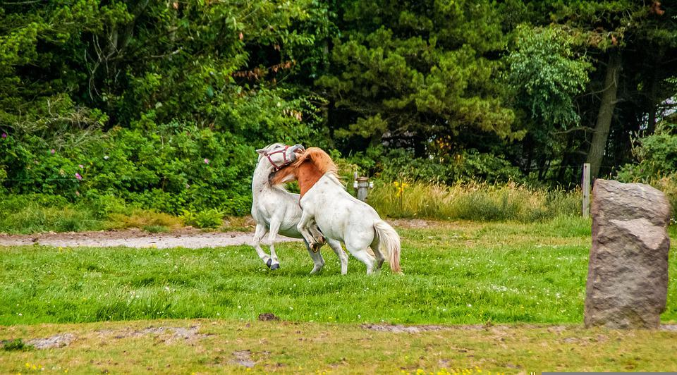Horses, Stallion, Pony Farm, Equine, Equestrian