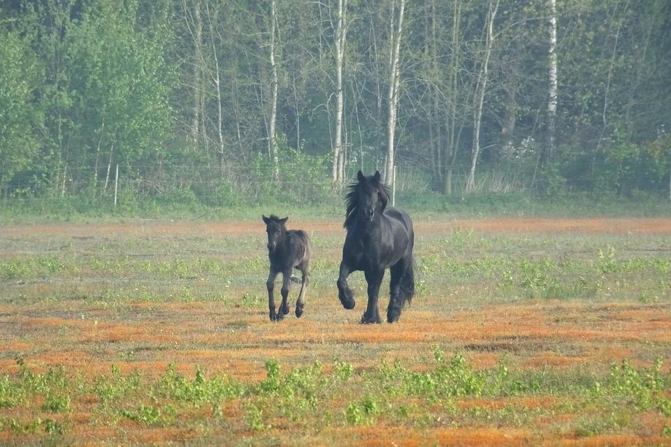 Fell Pony, Pony, Foal