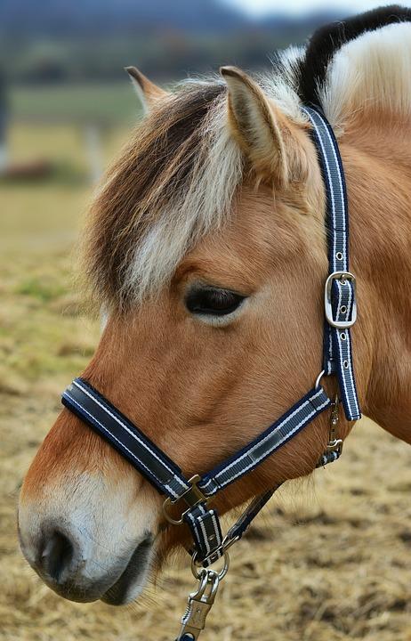 Horse, Norwegian Fjord Horse, Horse Head, Pasture, Pony