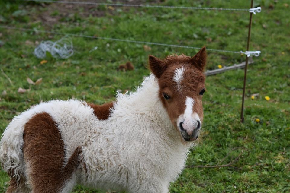 Foal, Pony Jarod, Small Horse, Shetland Pony Jarod