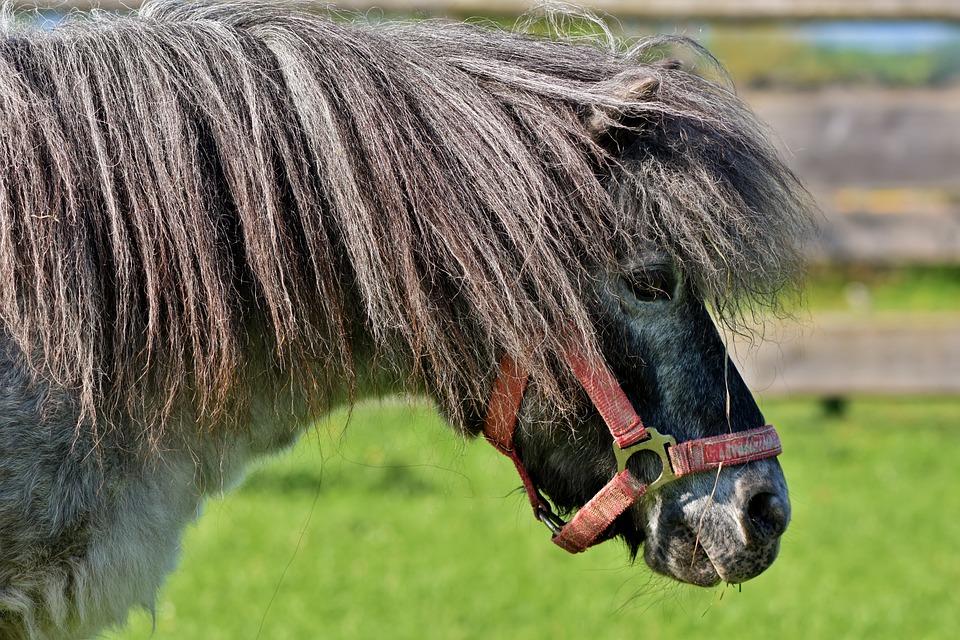 Horse, Pony, Mane, Black, Small Horse Breed, Seahorses