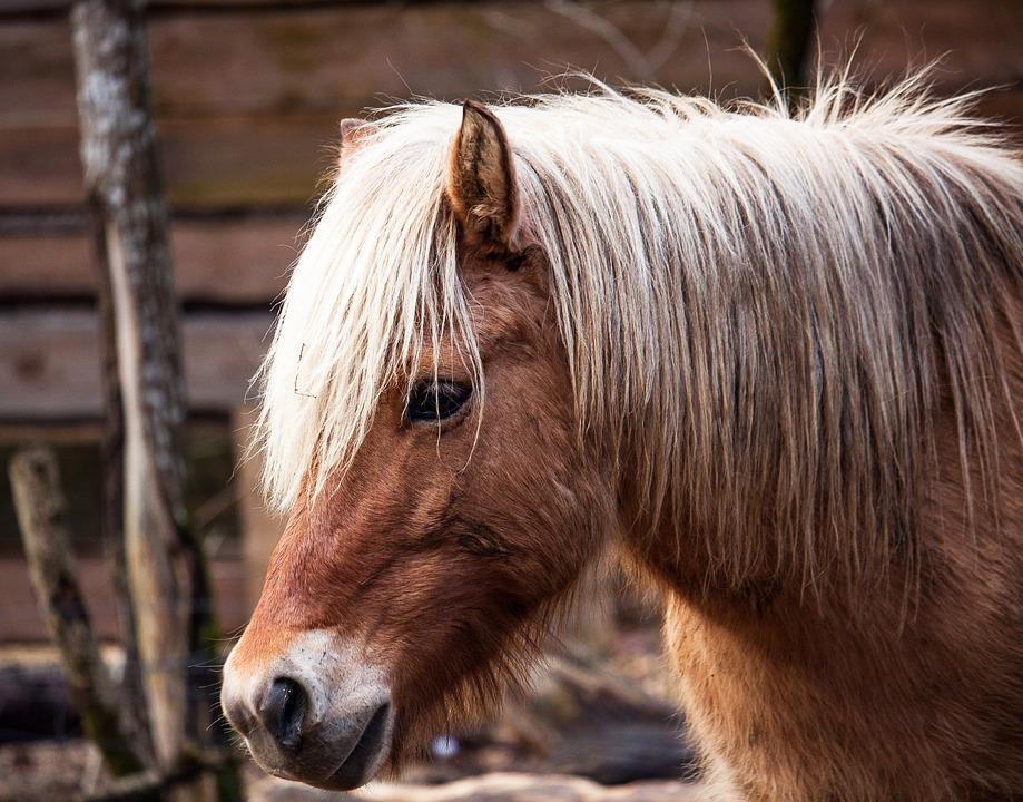 Pony, Mammal, Animal, Animal World, Nature, Horse