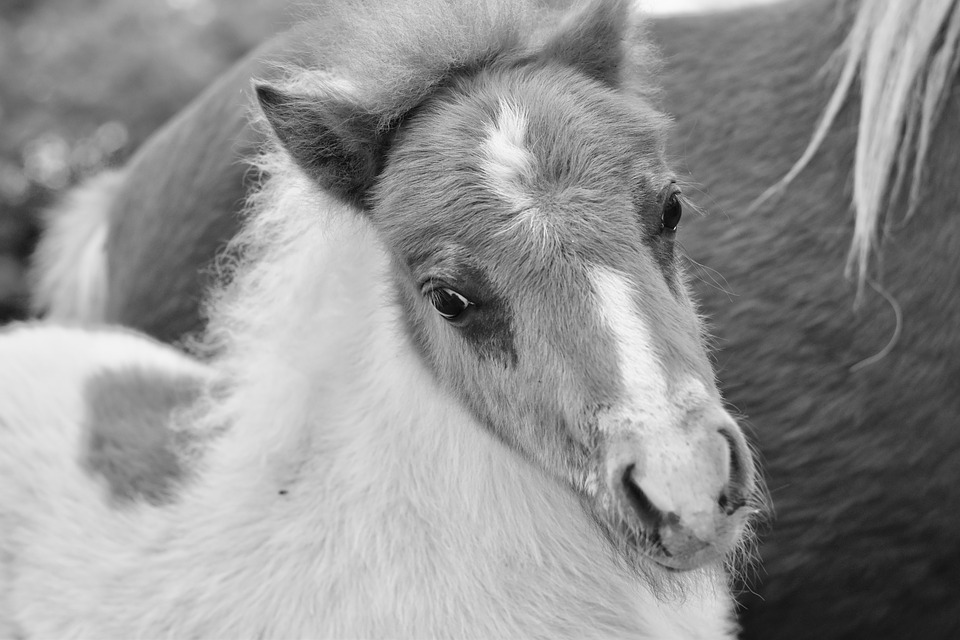 Pony, Black And White Photo, Shetland Pony Jarod