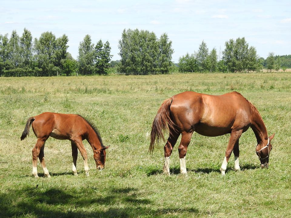 Horses, Chestnut, Mare, Offspring, The Horse, Pony