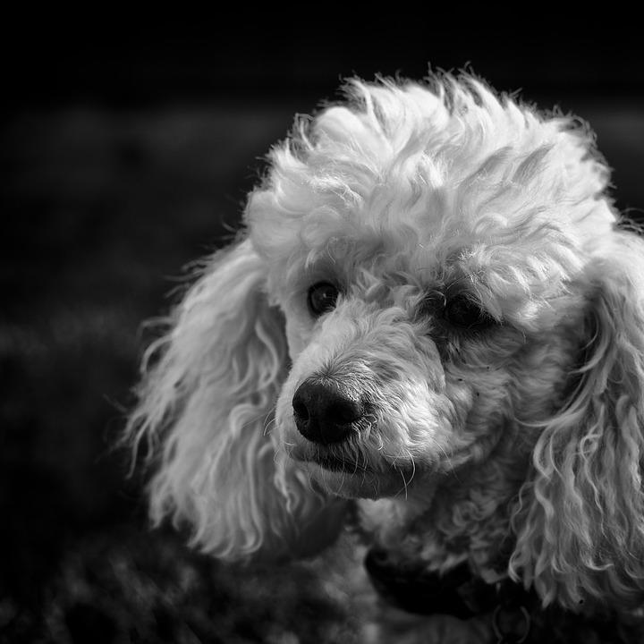 Black And White, Poodle, Dog, Purebred, Domestic, Pet