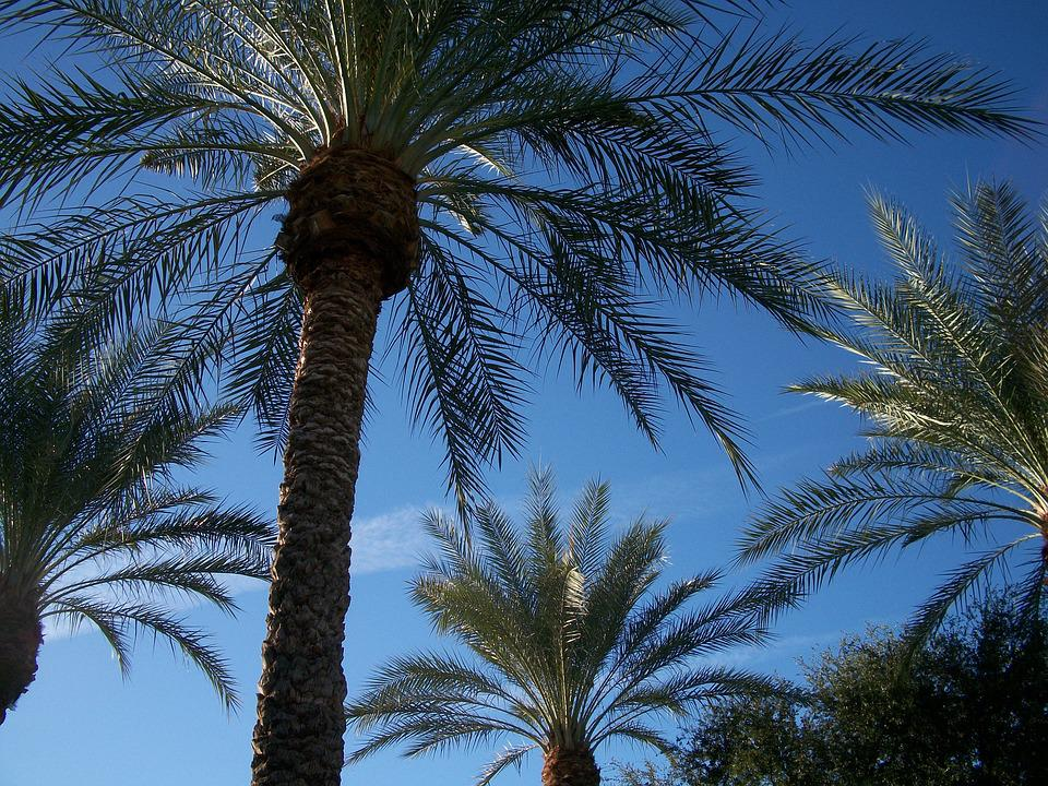 Canary Island Date Palm, Palm Tree, Scottsdale, Pool