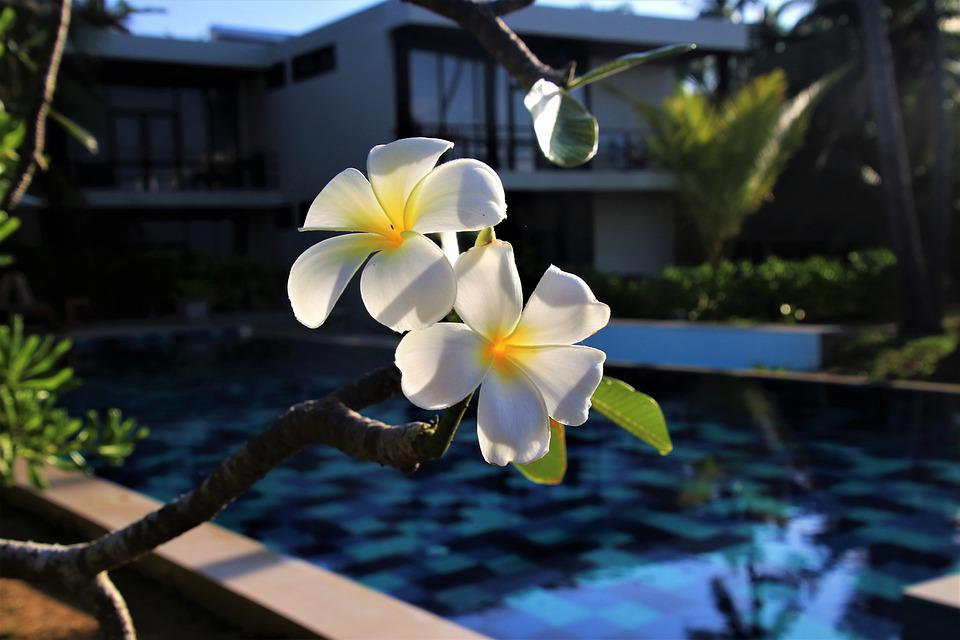 Plumeria, Flower, Exotic, Pool, Nature, Water, Summer