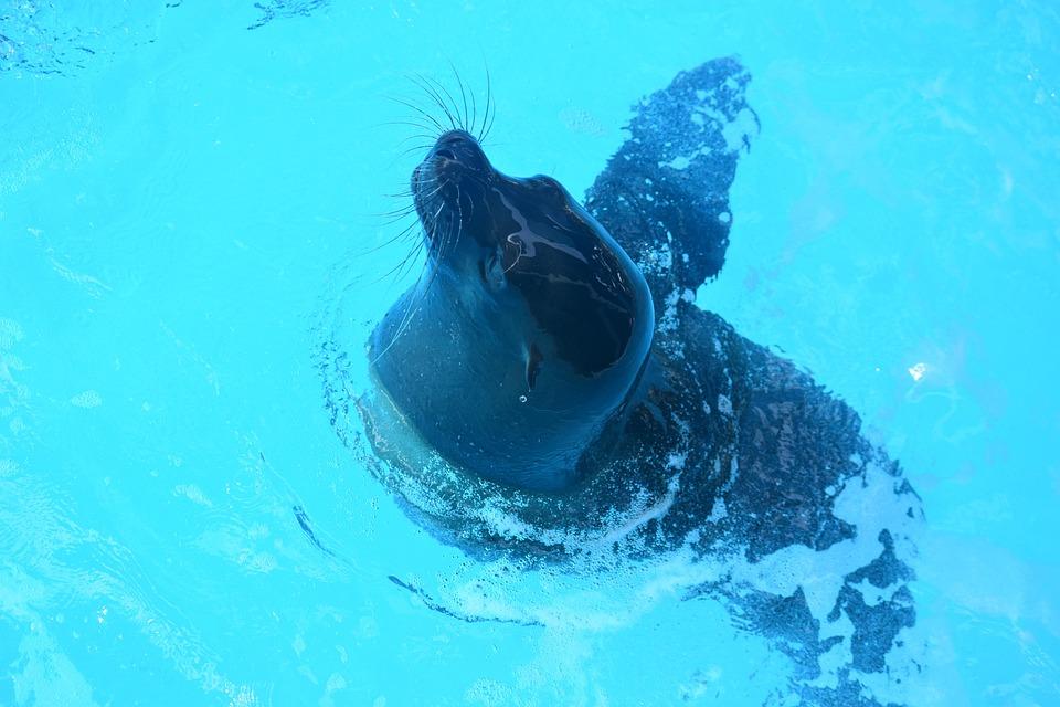 California Sea Lion, Animal, Pool, Sea Lion Show
