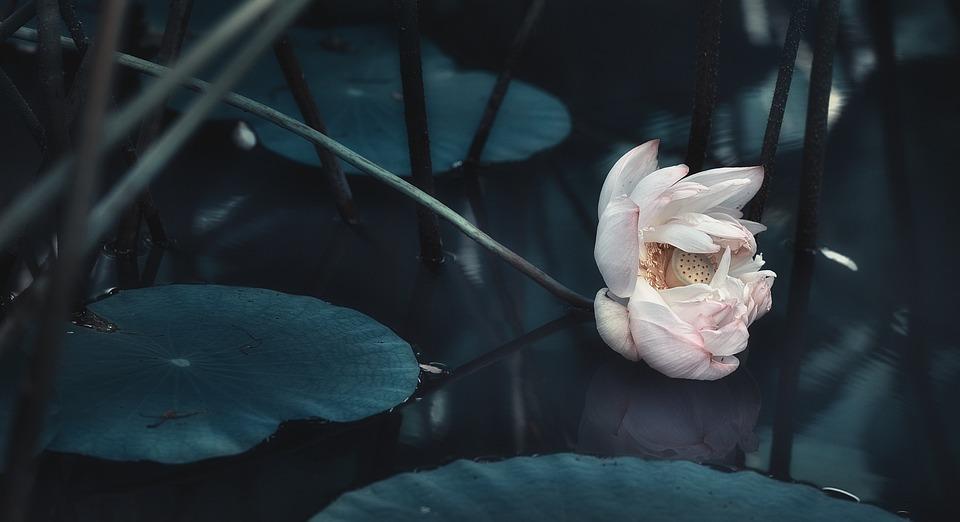 Lotus, Pool, Summer, Pond, Water Plant