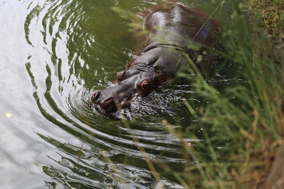Nature, Water, Pool, Wildlife, Animal, Hippo