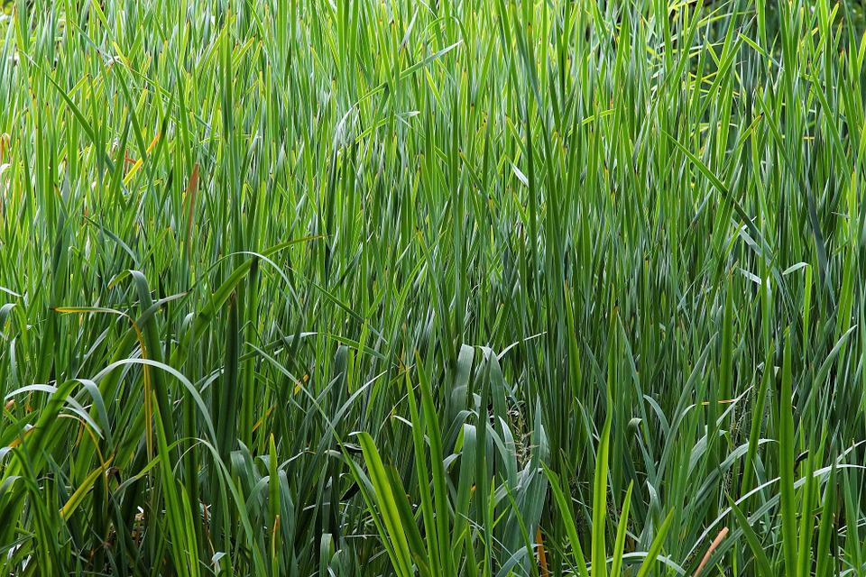 Biotope, Moisture, Grasses, Pools, Frisch, Plant, Green
